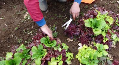 旬の野菜を収穫